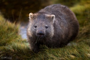 M Duke Wombat Portrait Cradle Mountain Tasmania
