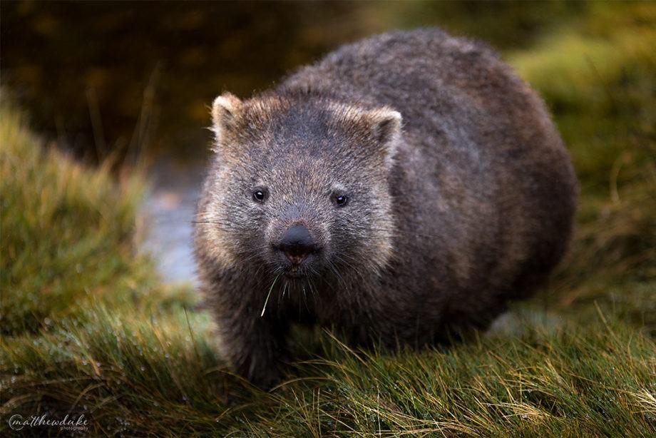 M Duke Wombat Portrait Cradle Mountain Tasmania